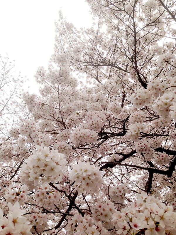 お花見のおすそわけ2015