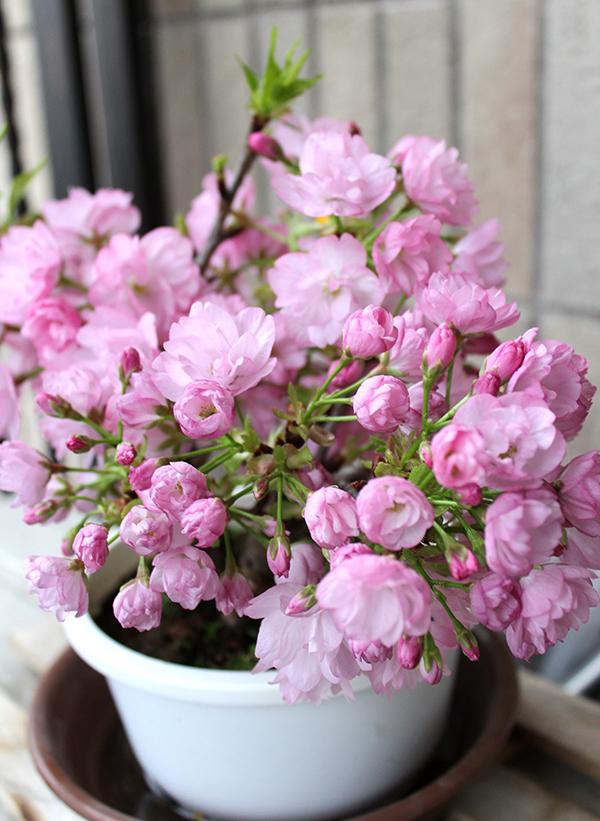 家でもお花見したいので、桜盆栽をポチってみたよ。